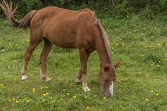 Borwn horse grazing on a grass field with small yellow flowers, in the Campeche, Florianopolis, Brazil royalty free stock images