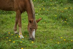 Borwn horse grazing on a grass field with small yellow flowers, in the Campeche, Florianopolis, Brazil stock images
