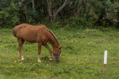 Borwn horse grazing on a grass field with small yellow flowers, in the Campeche, Florianopolis, Brazil royalty free stock photo