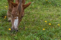 Borwn horse head grazing on a grass field with small yellow flowers, in the Campeche, Florianopolis, Brazil royalty free stock image