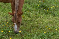Borwn horse head grazing on a grass field with small yellow flowers, in the Campeche, Florianopolis, Brazil stock photos