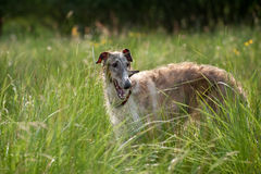 Borzoi Royalty Free Stock Image