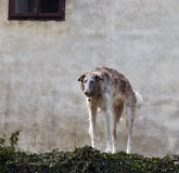 Borzoi Stock Photos