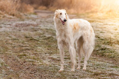 borzoi Photos stock