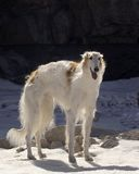 Borzoi Royalty Free Stock Images