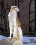 Borzoi Photo stock