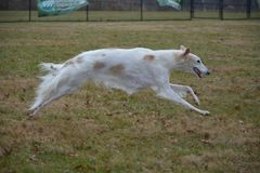 Borzoi female running at the park. Borzoi also known as russian wolfhounds love to run Royalty Free Stock Photos