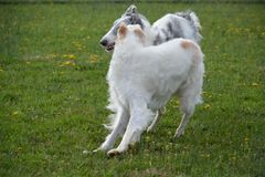 Borzoi playing in the meadow. Borzoi also known as russian wolfhounds love to run and play in large open spaces Royalty Free Stock Image