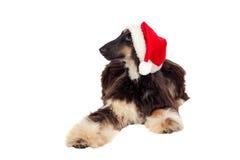Borzoi breed dog with Santa hat Stock Images