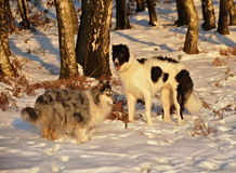 Borzoi and collie in winter Royalty Free Stock Image