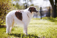 The borzoi costs on a grass. Royalty Free Stock Images