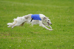 Borzoi coursing Stock Photos