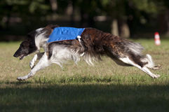 Borzoi coursing Stock Photo