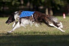 Borzoi coursing. A borzoi lure coursing at full speed Stock Photo