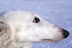 Borzoi dog. Russian borzoi dog - very courageous and fast hunting dog. Works on a hare, the fox and even the wolf stock photo