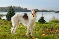 Borzoi dog Royalty Free Stock Image