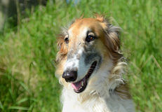 Borzoi. Dog face portrait,featuring the breed`s long nose Stock Image