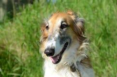 Borzoi. Dog face portrait in sunlight Royalty Free Stock Photo