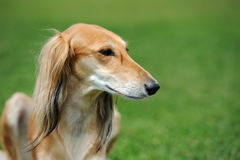Borzoi dog in grass. Close brown Borzoi dog in green summer grass Stock Photography