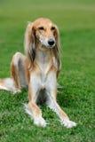 Borzoi dog in grass. Close brown Borzoi dog in green summer grass Stock Photos