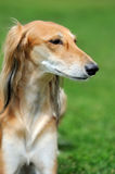 Borzoi dog in grass Royalty Free Stock Image