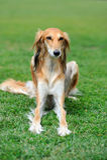 Borzoi dog in grass Stock Photo