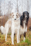 Borzoi dog portrait on dry grass background Stock Photos