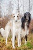 Borzoi dog portrait on dry grass background. Autumn view Stock Photos