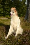Borzoi. Dog seen in a forest, on a layer of heather in bloom Royalty Free Stock Images