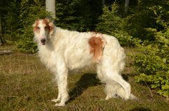 Borzoi. Dog seen in a forest, on a layer of heather in bloom Stock Images