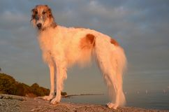 Borzoi. Dog standing at a beach Stock Images
