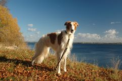 Noble borzoi dog. Borzoi dog stands in a landscape in autumn colors Stock Photo