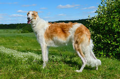 Borzoi dog Stock Photos