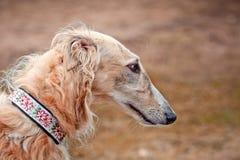 Borzoi dogs on hunting. Borzoi dog portrait on dry grass background Stock Photo