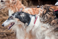 Borzoi dogs on hunting Royalty Free Stock Photography