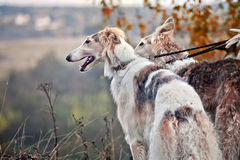Borzoi dogs on hunting. Borzoi dogs looks from dry grass Stock Photos