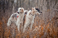 Borzoi dogs on hunting. Three Borzoi dogs looks from dry grass Royalty Free Stock Photos
