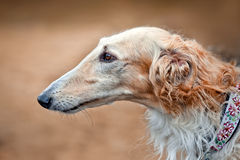 Borzoi dogs on hunting. Three Borzoi dogs looks from dry grass Stock Photography