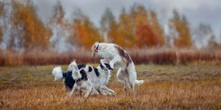 The Borzoi dogs. The Borzoi (the Russian wolfhound) dogs running in an autumn field Stock Photo