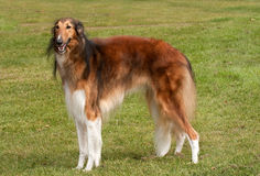 Borzoi, elegant hound, standing to attention royalty free stock photography