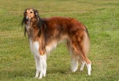 Borzoi, elegante hond, die zich aan aandacht bevindt Royalty-vrije Stock Fotografie