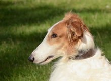 Borzoi Face. The face of a noble borzoi seen in a side view Stock Photography