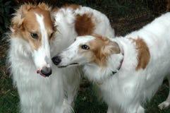 Borzoi family meetup. Two borzoi dogs studies each other with interest Stock Photo