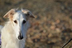 Borzoi female head study. Borzoi also known as russian wolfhounds love to run Stock Photography
