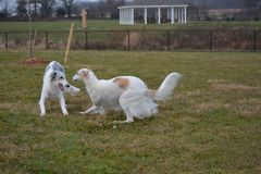 Borzoi female and male playing at the park. Borzoi also known as russian wolfhounds love to run Royalty Free Stock Photography