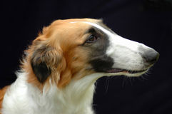 Borzoi hound dog portrait Stock Images