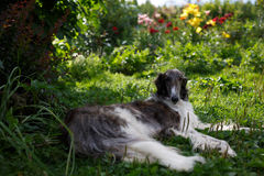 Borzoi hound dog Stock Photos