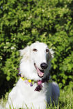 Borzoi hound at midsummer festivities Stock Photos