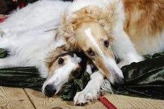 Borzoi hound portrait. Portrait of two mature borzoi hounds Royalty Free Stock Photo