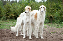 Borzoi hounds Royalty Free Stock Images